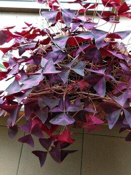Комнатные растения -    Кислица  фиолетовая, 0
