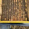 Пчелопакеты , матки , пчелы , улики . по цене 4200₽ - Сельскохозяйственные животные и птицы, фото 1