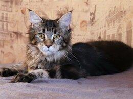 Кошки - Мейн-Кунята всех окрасов от Мейн-Кунов Москвы, 0