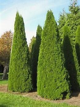 Рассада, саженцы, кустарники, деревья - Саженцы туи смарагд дешевле чем в леруа, 0