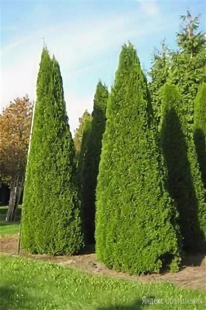 Саженцы туи смарагд дешевле чем в леруа по цене 270₽ - Рассада, саженцы, кустарники, деревья, фото 0