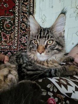 Кошки - Чистопородные котята породы Мейн-кун.. Москва., 0