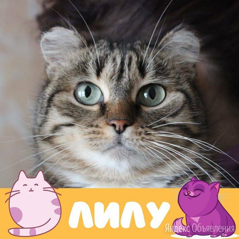 Кошка Лилу по цене даром - Кошки, фото 0