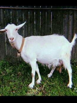 Сельскохозяйственные животные - Коза, 0