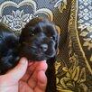 Щетки американские Кокер спаниель по цене 8000₽ - Собаки, фото 2