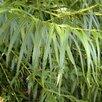 Ива Шверина улучшенная  по цене 198₽ - Рассада, саженцы, кустарники, деревья, фото 0