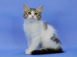 Кошки - Сибирский котенок - КОТ редкого окраса, 0