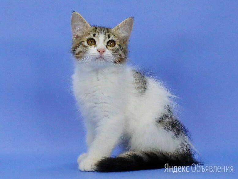 Сибирский котенок - КОТ редкого окраса по цене 20000₽ - Кошки, фото 0