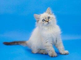 Кошки - Невская маскарадная замечательная кошечка Оливка, 0