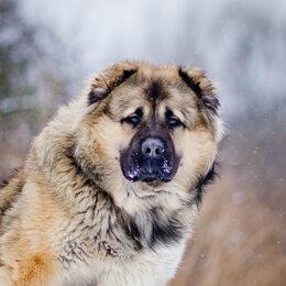 Собаки - Молодой кавказец в дар, 0