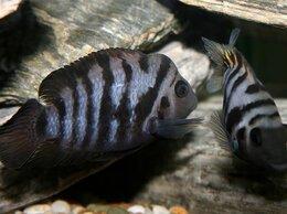 Аквариумные рыбки - Цихлазома чернополосая (Cichlasoma nigrofasciatum), 0