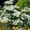 Дерен коуза 'Milky Way' по цене 1500₽ - Комнатные растения, фото 3