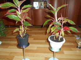 Комнатные растения - Агланема, 0