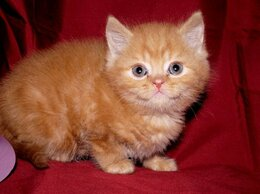 Кошки - Британский котенок в Балаково, 0