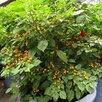Семена Сортовых ПЕРЦЕВ для выращивания в ДОМАШНИХ условиях/БАЛКОН/Квартира по цене 50₽ - Семена, фото 1