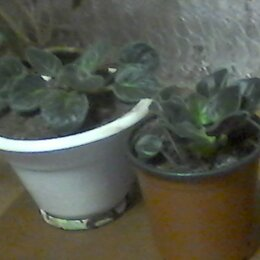 Комнатные растения - КОМНАТНЫЕ ЦВЕТЫ-ФИАЛКИ СОРТОВЫЕ, 0