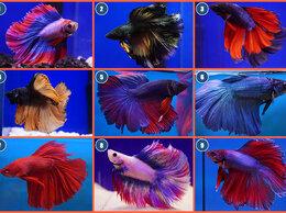 Аквариумные рыбки - Аквариумные рыбки петушки оригинал не разводные, 0