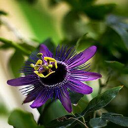Комнатные растения - Пассифлора Monika Fisher (Размер горшка-6 см), 0