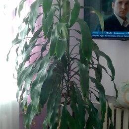 Комнатные растения - драцена, 0