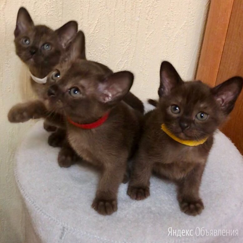 Бурманские котята по цене 45000₽ - Кошки, фото 0