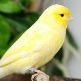 Птицы - Канарейки овсяночного напева, 0