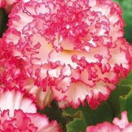 Комнатные растения - Махровые бегонии - набор, 0