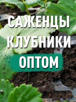Рассада, саженцы, кустарники, деревья - Рассада клубники. От производителя, 0