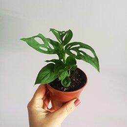 Комнатные растения - Монстера Адансона, 0