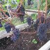 Саженцы винограда Северо - Западного региона по цене 200₽ - Рассада, саженцы, кустарники, деревья, фото 4