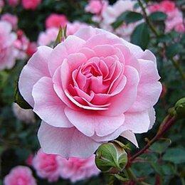 Рассада, саженцы, кустарники, деревья - Роза флорибунда Боника, 0