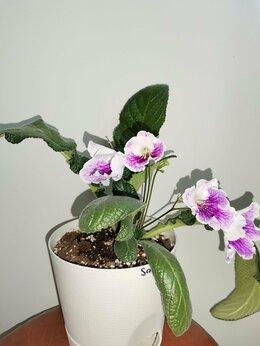Комнатные растения - Каллизия розовая пантера, стрептокарпусы,…, 0