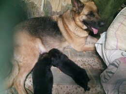Собаки - Продам щенка немецкой овчарки , 0
