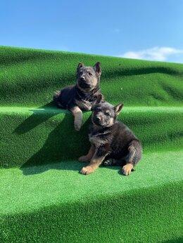 Собаки - Продам щенков ВОСТОЧНОЕВРОПЕЙСКИХ  ОВЧАРОК, 0