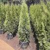 Туи Смаргд  по цене 3000₽ - Рассада, саженцы, кустарники, деревья, фото 8