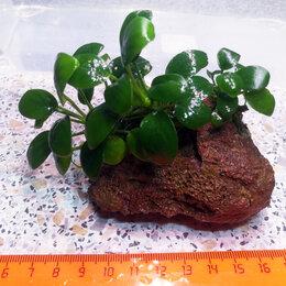 Растения для аквариумов и террариумов - Композиция из 3-х кустиков живых аквариумных растений Анубиаса Нана, 0