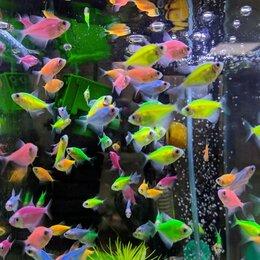 Аквариумные рыбки - Тернеции гло, цветные мирные рыбки, 0