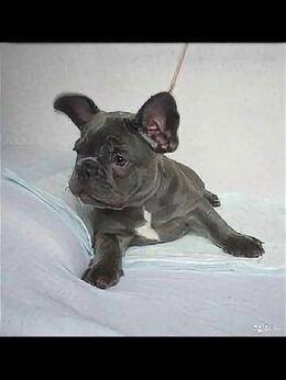 Собаки - Французский бульдог щенки, 0