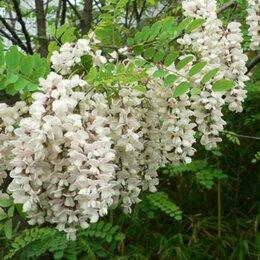 Семена - Семена белой душистой акации, 0