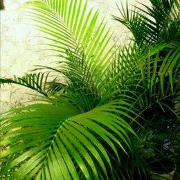 Комнатные растения - Хамедорея, 0