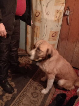 Собаки - сенбернар-алабай, 0