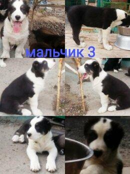 Собаки - Средниазиатская авчарка(алабай), 0
