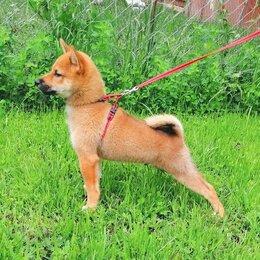 Собаки - Щенок Сиба-ину, 0