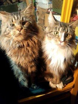 Кошки - Котята мейн-куны, 0