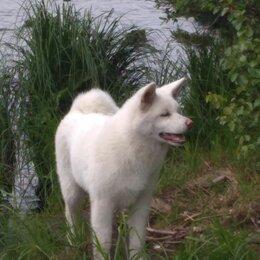 Собаки - Японская Акита ину, 0