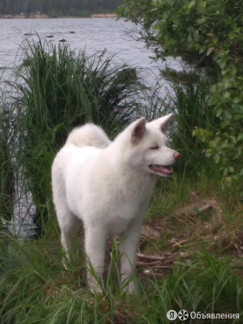 Японская Акита ину по цене 35000₽ - Собаки, фото 0