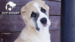 Собаки - ЩЕНКИ Алабай (Среднеазиатская овчарка), 0