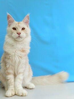 Кошки - Мейн Кун кот , 0