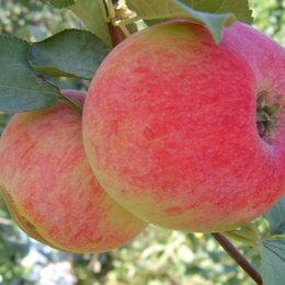 Рассада, саженцы, кустарники, деревья - Саженцы плодово-ягодных культур, 0