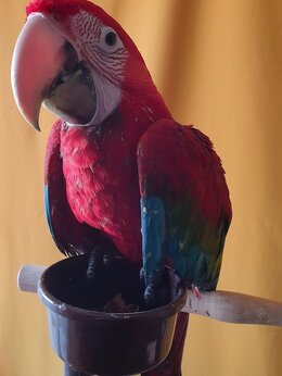 Птицы - Ручные птенцы зеленокрылый ара из питомника, 0