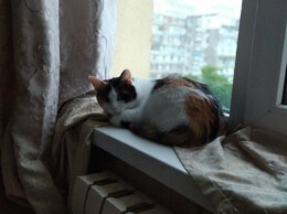 Кошки - Кошечка-трехцветка в добрые руки, 0